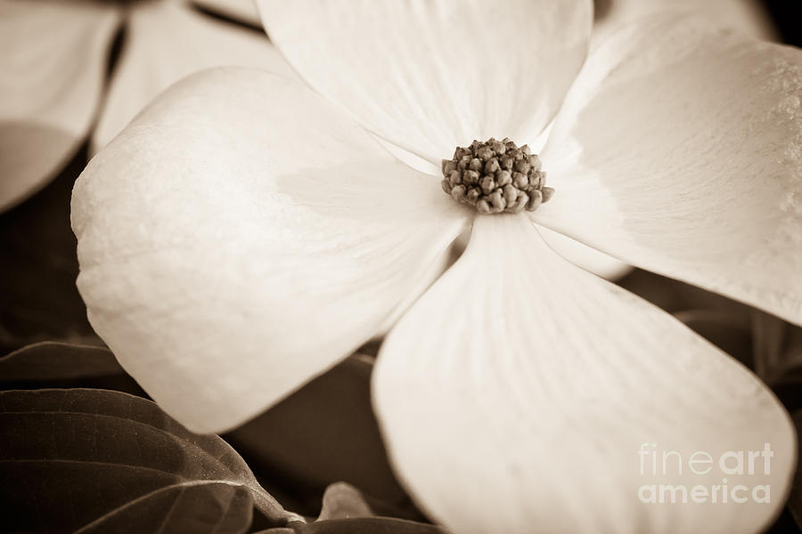 Nature Photograph - Dogwood Bloom by Lisa McStamp