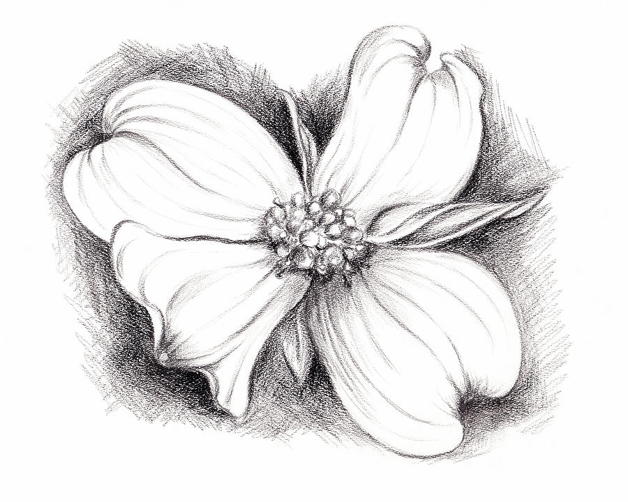 Dogwood Drawing - Dogwood Blossom Charcoal by MM Anderson