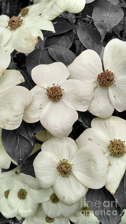Dogwood Photograph - Dogwood Blossoms by E B Schmidt