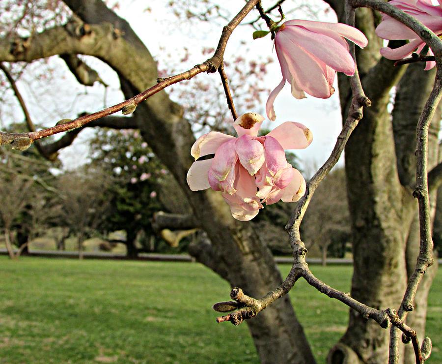 Flower Photograph - Dogwood blossoms by Joseph Ferguson