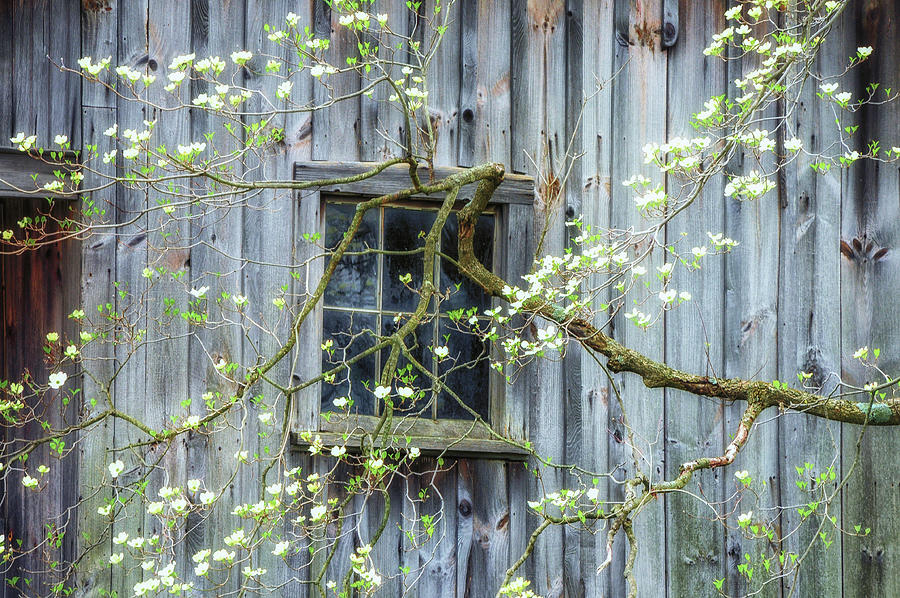 Spring Photograph - Dogwood Blossoms- Rejuvination  by T-S Photo Art