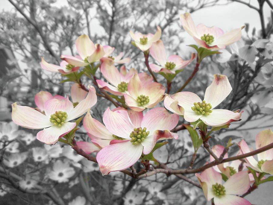 Pink Dogwood Blossom Photograph - Dogwood by Colleen Cornelius