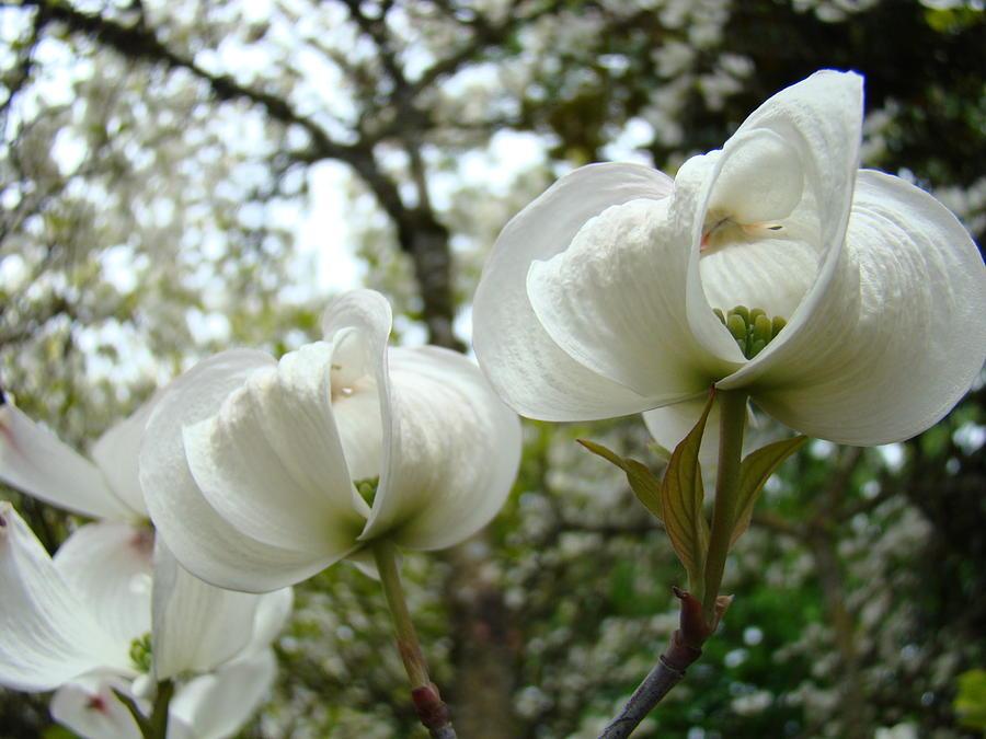 Dogwood Flowers White Dogwood Trees Blossoming 8 Art Prints