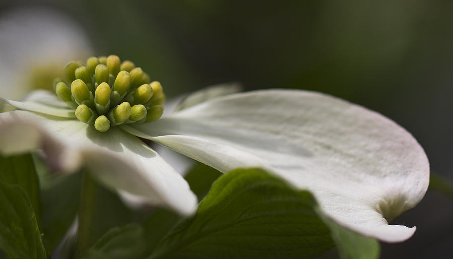 Nature Photograph - Dogwood In Bloom by Iris Page