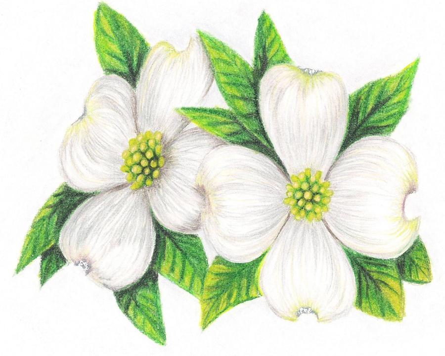 860b3cf70 Dogwood Drawing by Scarlett Royal