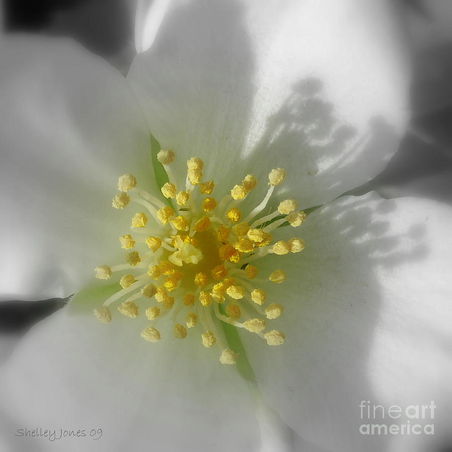 Digital Photograph - Dogwood by Shelley Jones