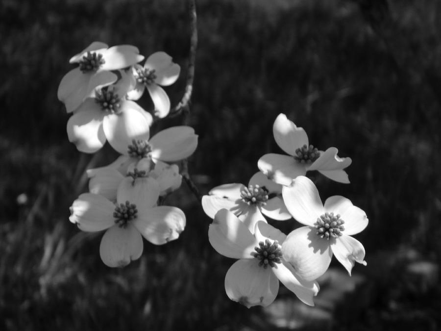 Dogwood Tree Blooms B And W Photograph By Arlane Crump