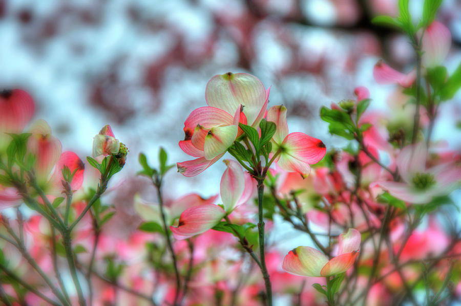 Dogwood Tree Spring Bloom Photograph By Joann Vitali