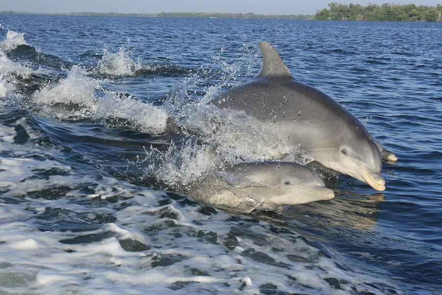 Nature Photograph - Dolphin Family by Tara Moorman Photography