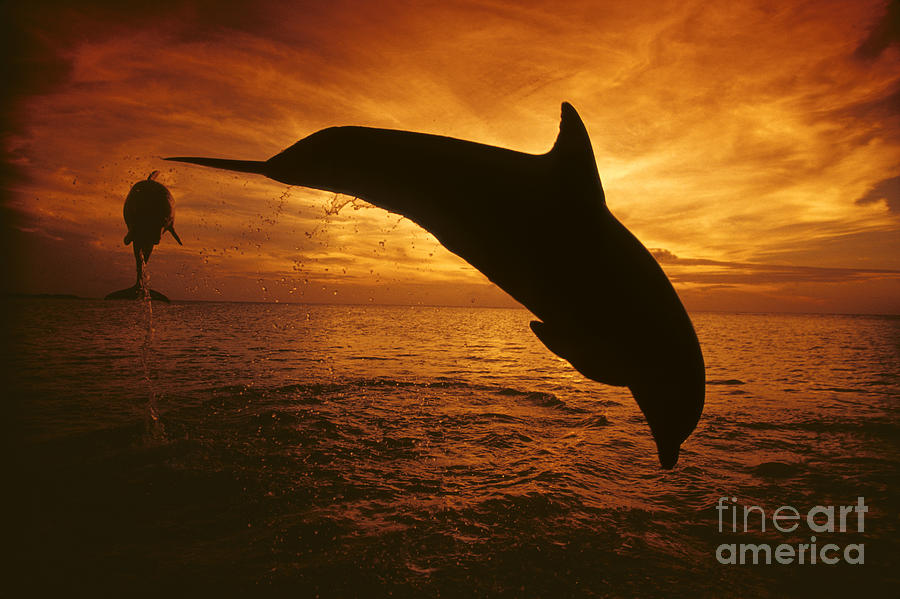 Amaze Photograph - Dolphins And Sunset by Dave Fleetham - Printscapes