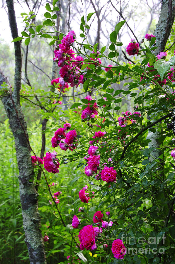 Wild Rose Photograph - Domestic Rose Gone Wild by Thomas R Fletcher