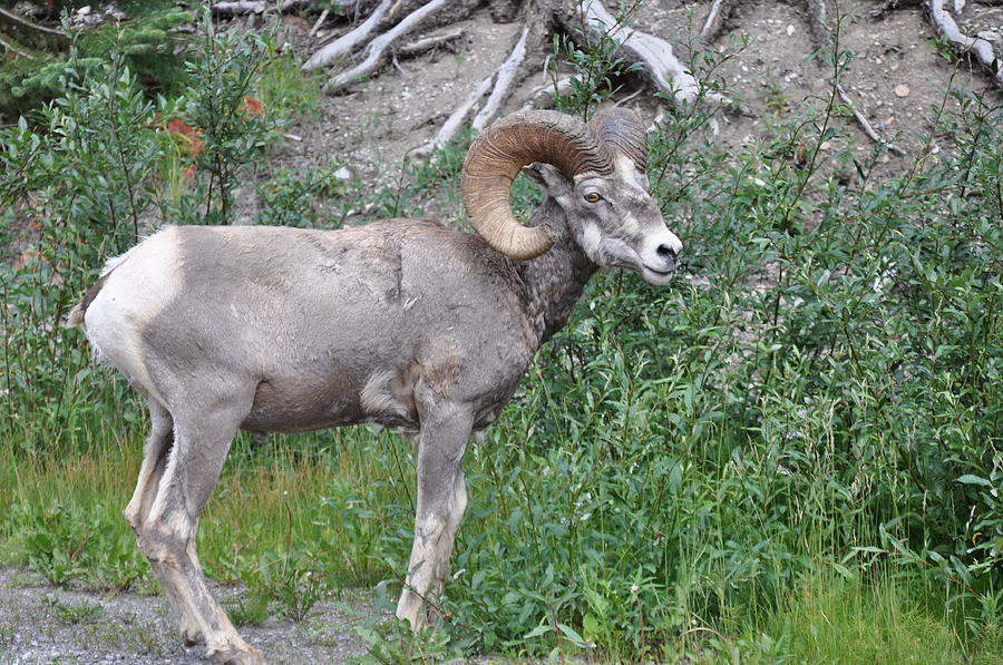 Mountain Goat Photograph - Dominant Watcher by Greg McDonald