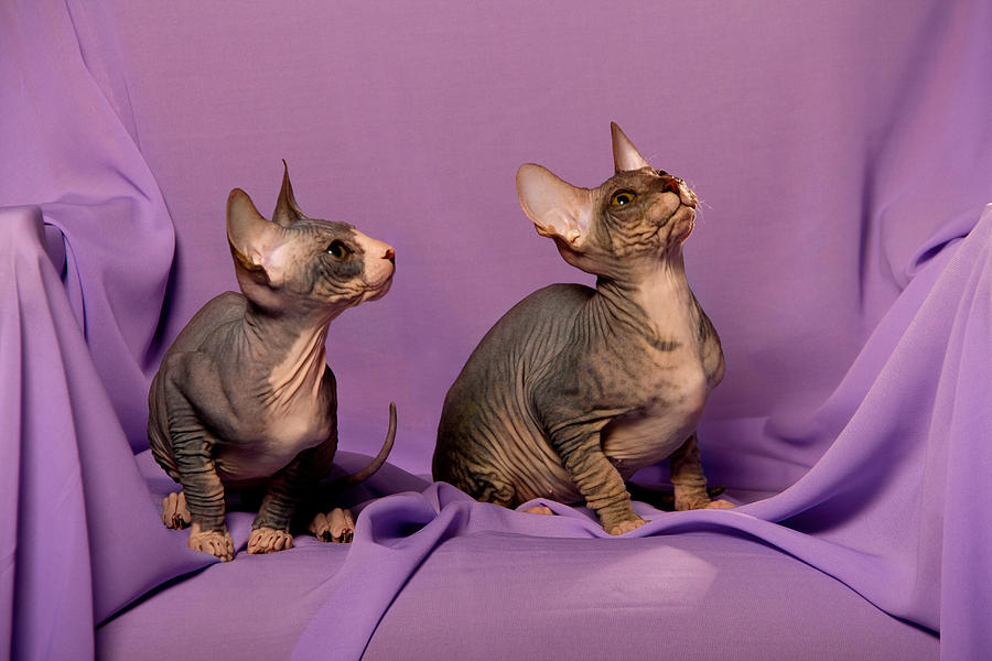 Peterbald cat virginia