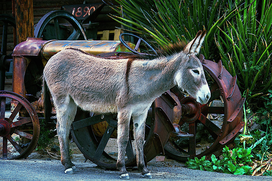 Jackass Photograph - Donkey And Old Tractor by Garry Gay