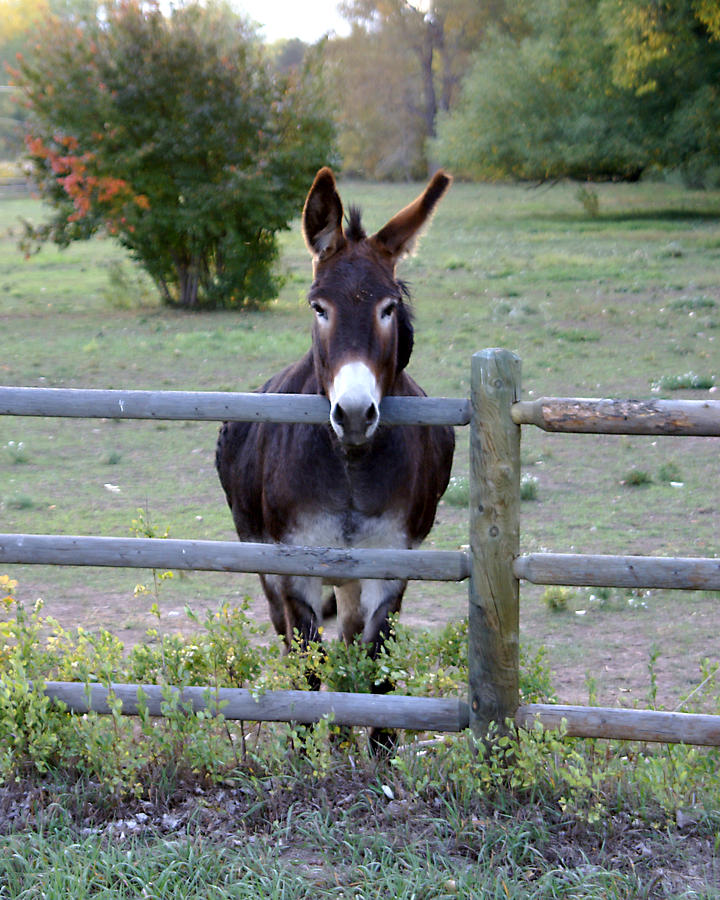 Donkey Photograph - Donkey At The Fence by D Winston