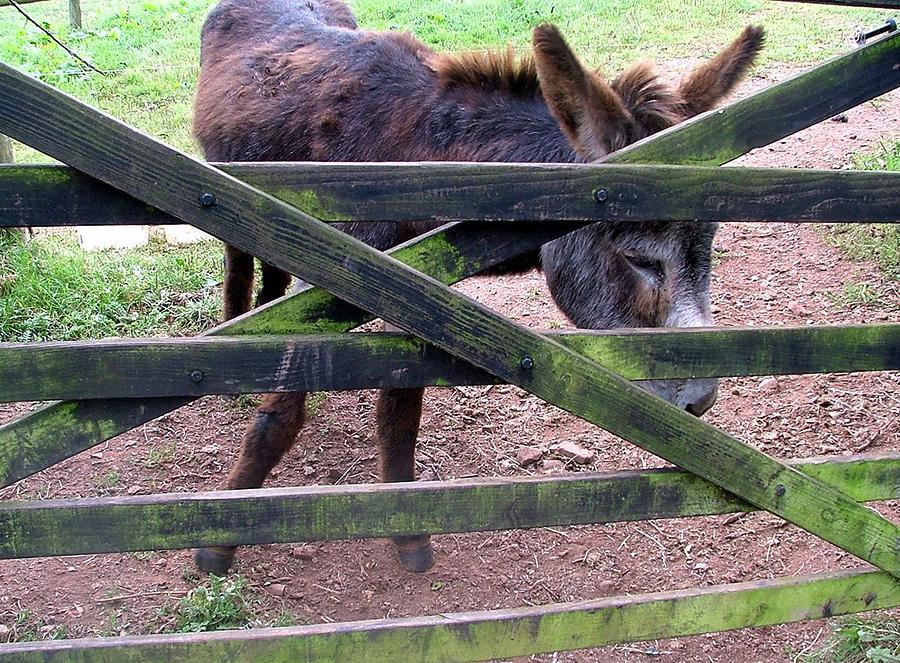 Donkey Photograph - Donkey Ready by Mindy Newman
