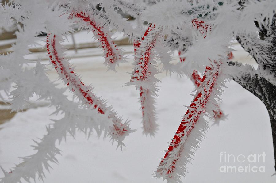 Cold Photograph - Dont Break My Heart-unique And Rare Formation Of Spiked Snow Icicles  by Akshay Thaker-PhotOvation