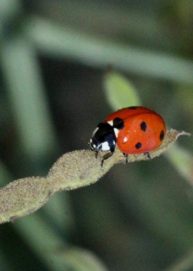 Lady Bug Photograph - Dont Bug Me by Karen King