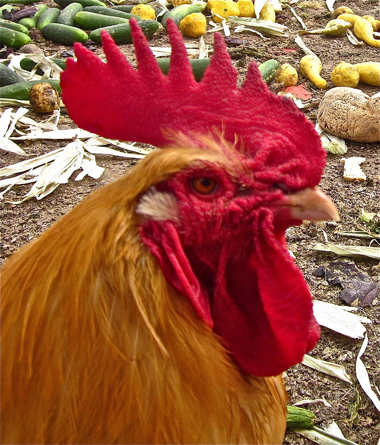 Rooster Photograph Photograph - Dont Even Think About It by Gwyn Newcombe