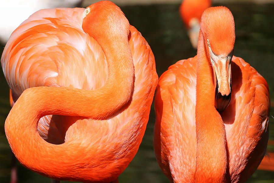 Flamingo Photograph - Dont Look Back by Imagery-at- Work