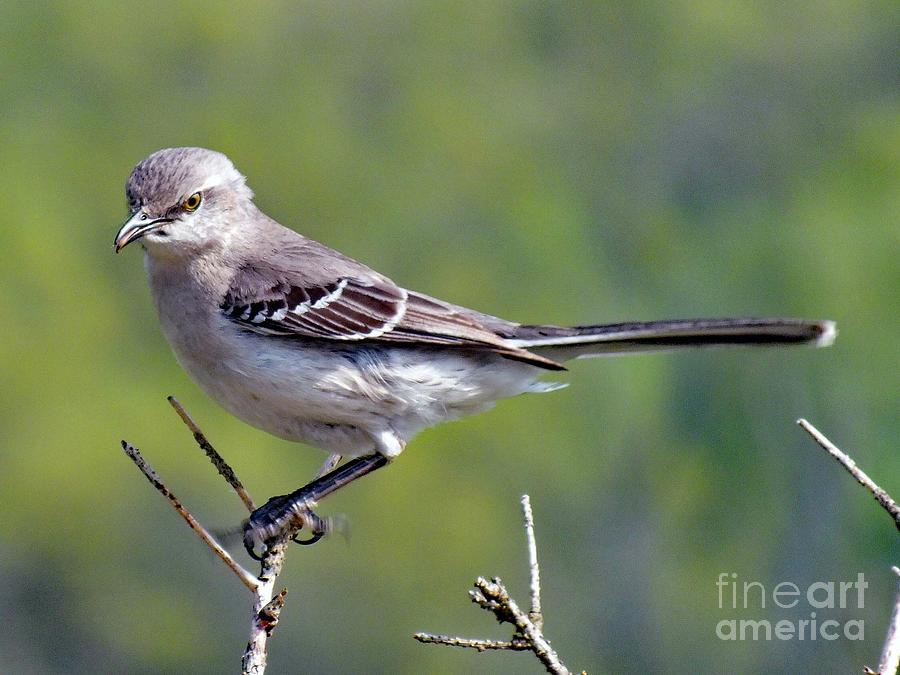 Dont Mess With Me - Northern Mockingbird Photograph