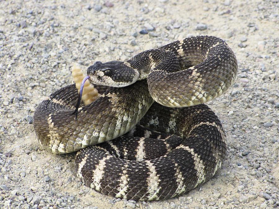 Rattlesnake Photograph - Dont Step On Me by Karen  W Meyer