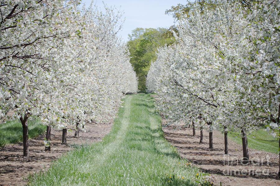 Door County Photograph - Door County Cherry Blossoms by Nikki Vig