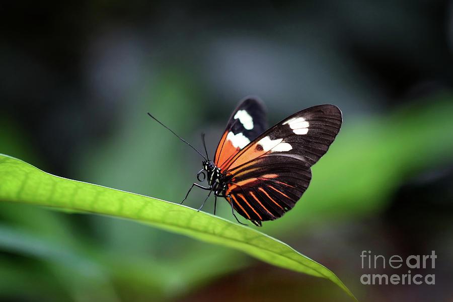 Nature Photograph - Doris Longwing Butterfly 2017 by Karen Adams