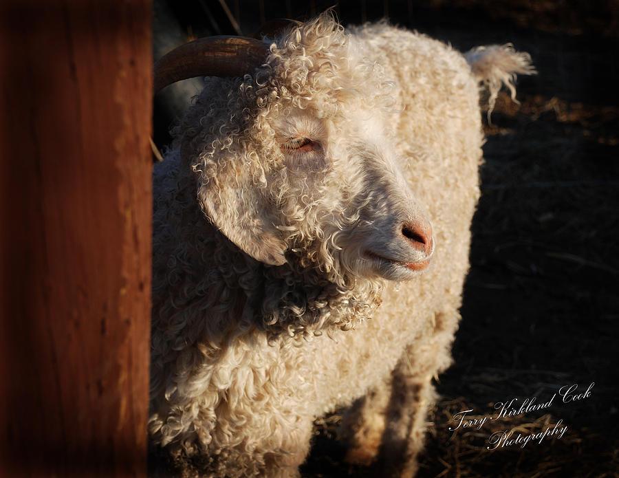 Animals Photograph - Dorset Ewe by Terry Kirkland Cook