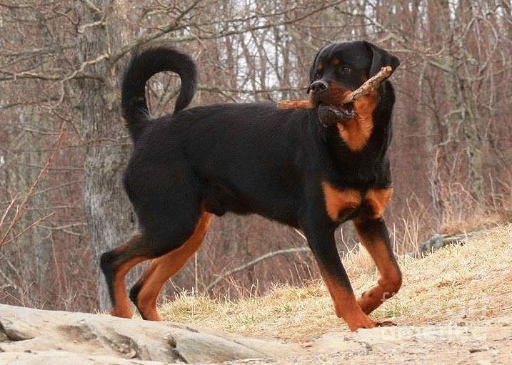 Rottie With A Tail And Stick Photograph by Gregory E Dean