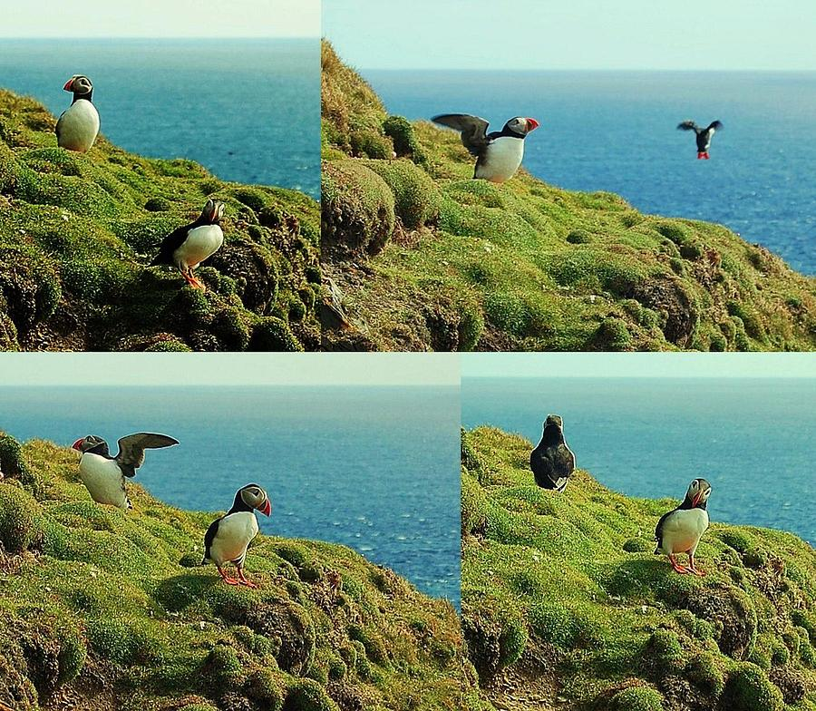Puffins Photograph - Double Act by HweeYen Ong