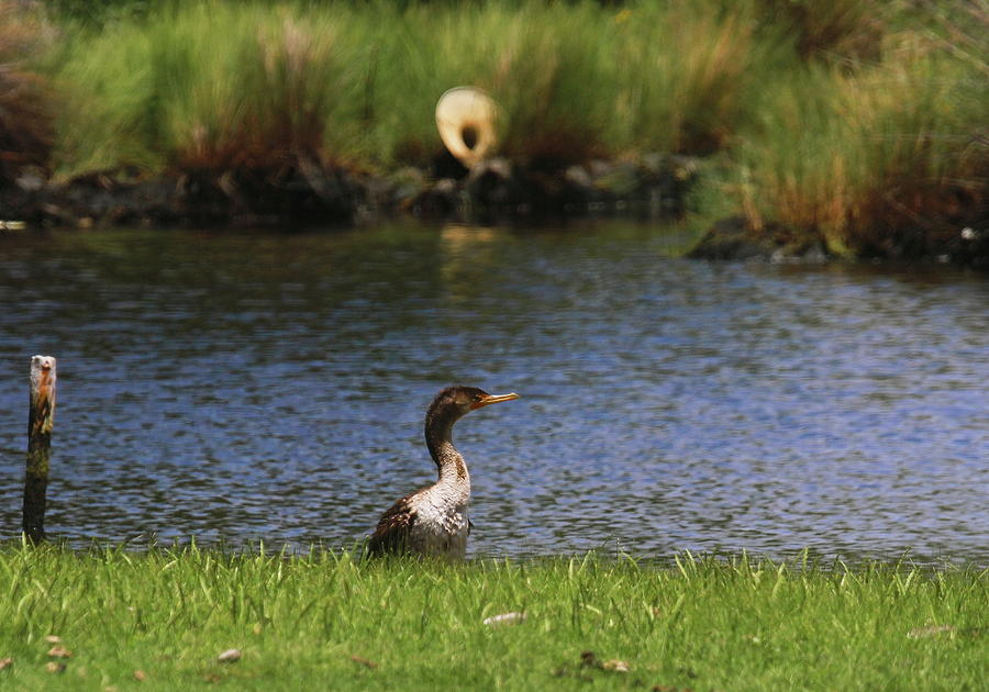 Double-crested Cormorant Photograph - Double-crested Cormorant 3 by Cathy Lindsey