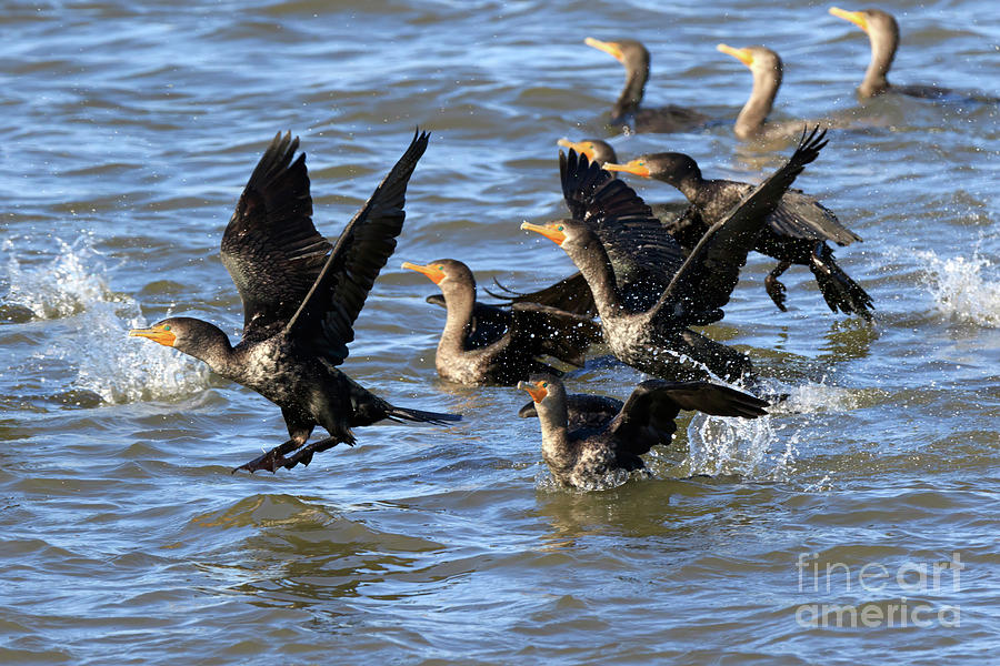 Double-crested Cormorants Photograph - Double Crested Cormorants by Louise Heusinkveld