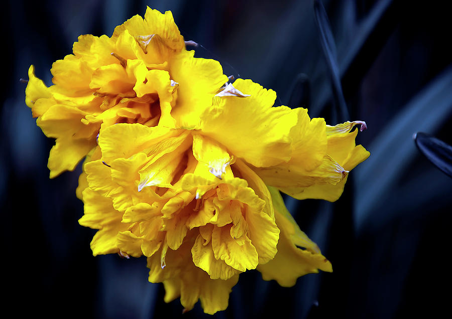 Spring Photograph - Double Daffodil by Svetlana Sewell