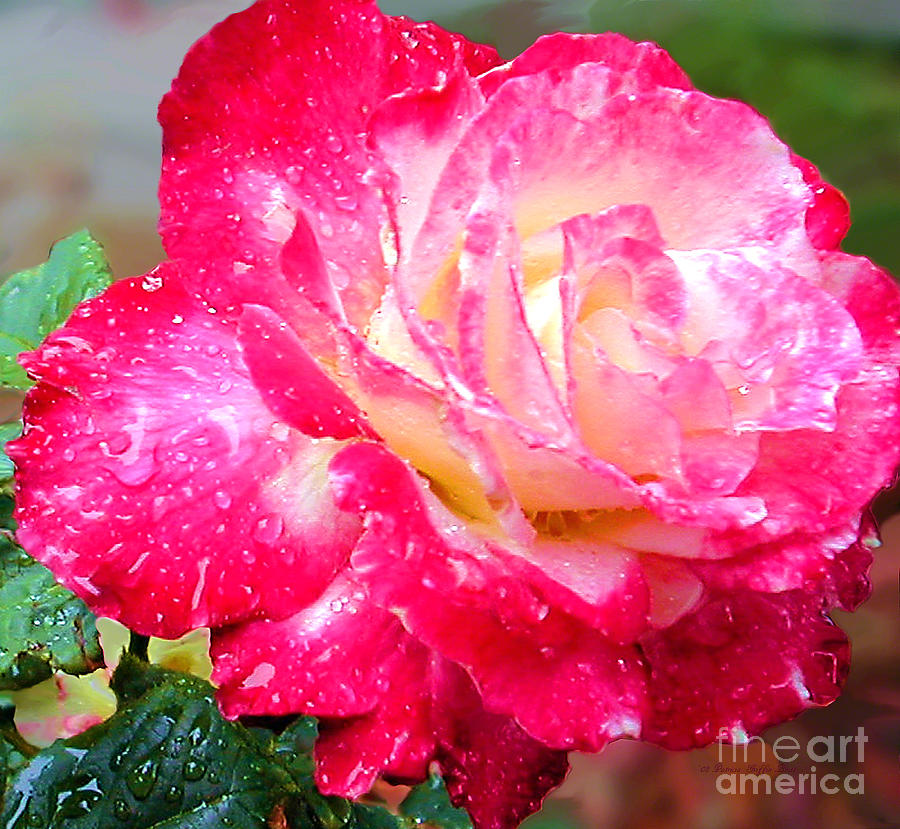 Double Delight Rose Photograph - Double Delight by Patricia Griffin Brett