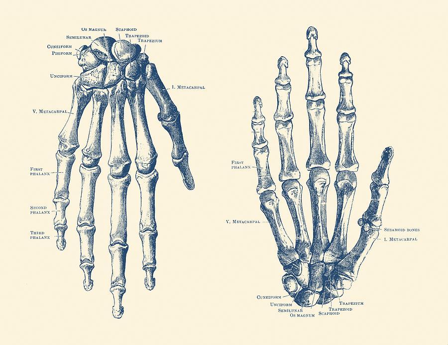 Double Hand Skeletal Diagram