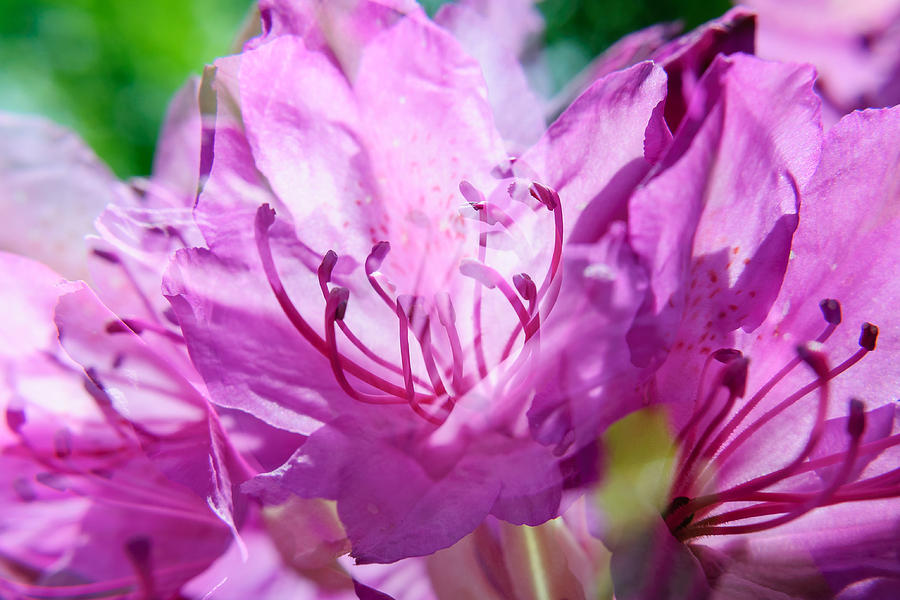 Double Magenta Rhododendron Photograph