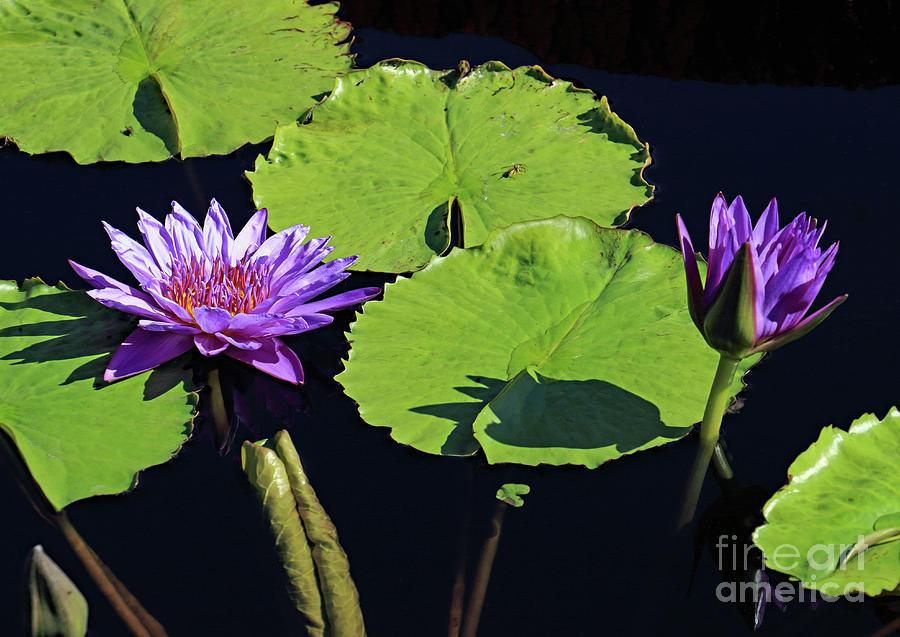 Double Purple Photograph