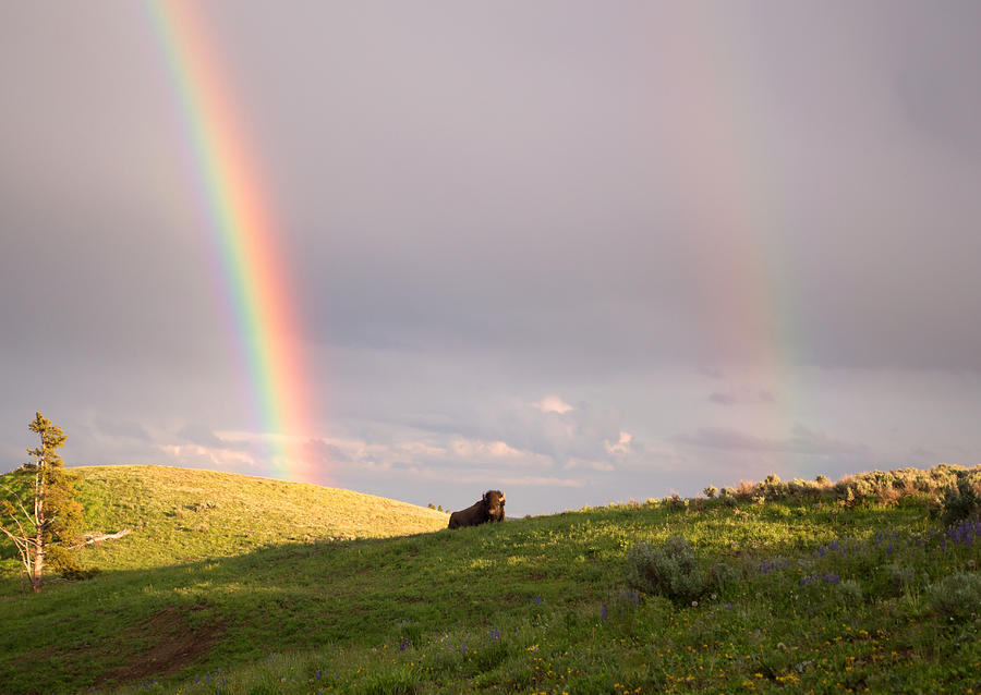 Bison Photograph - Double Rainbow by Linda Kerkau