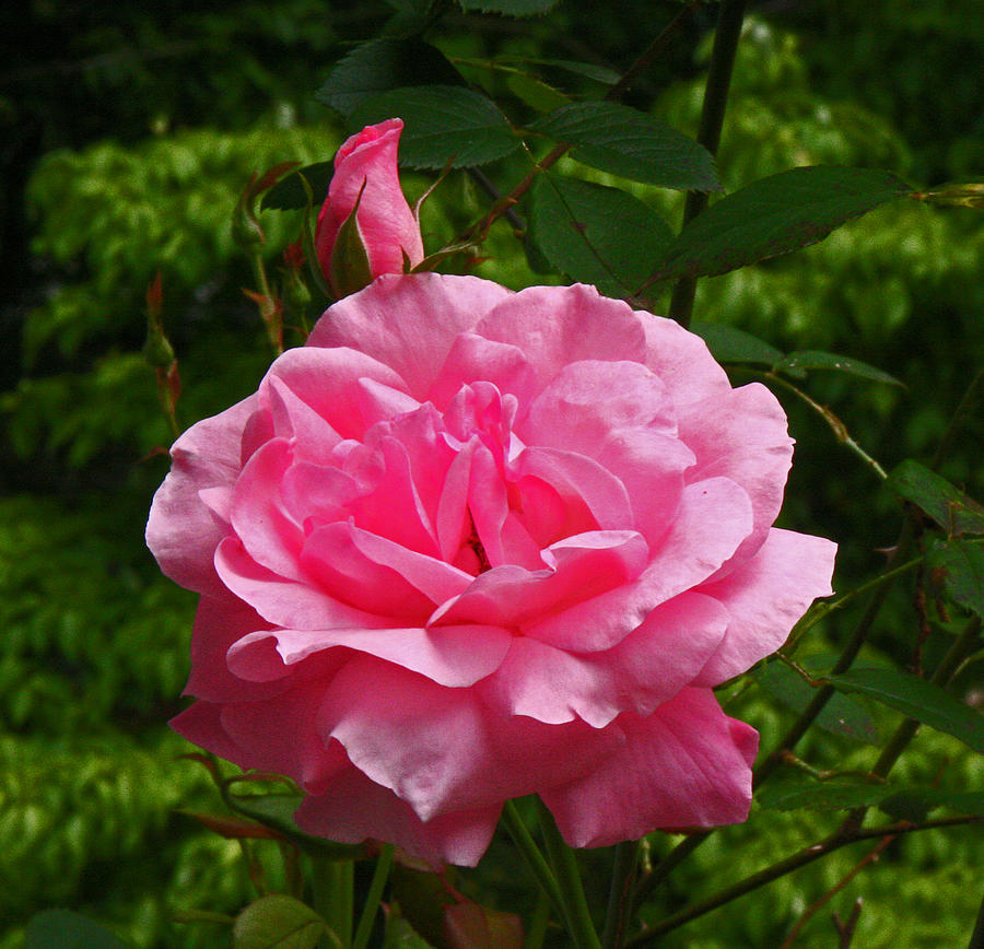 Flowers Photograph - Double Rose by David Campbell