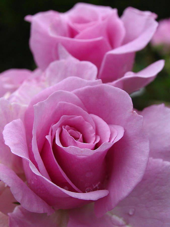 Rose Photograph - Double Take by Juergen Roth