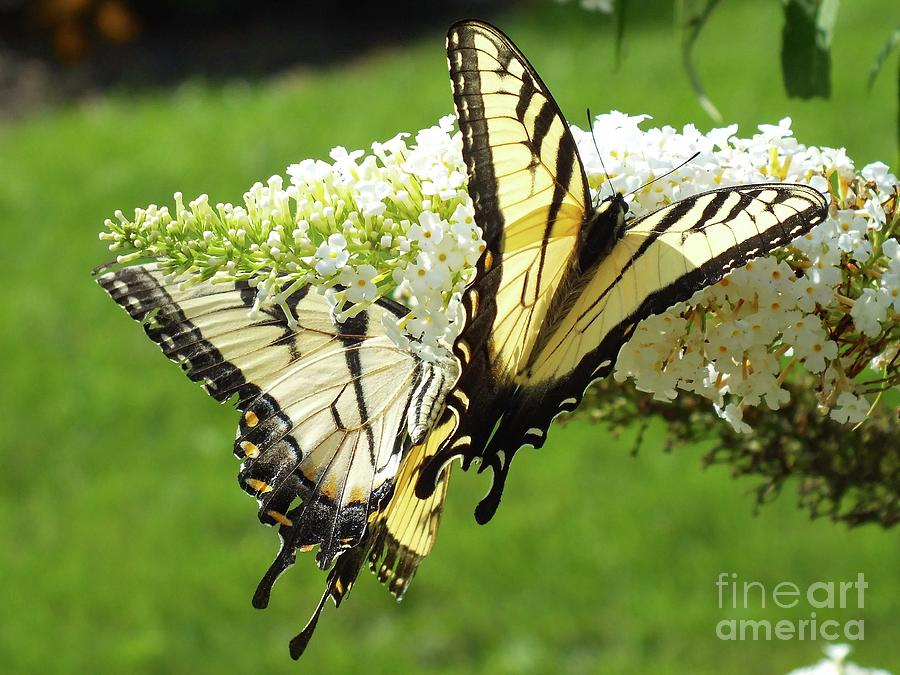 Artwork Photograph - Double The Pleasure - Eastern Tiger Swallowtails by Cindy Treger