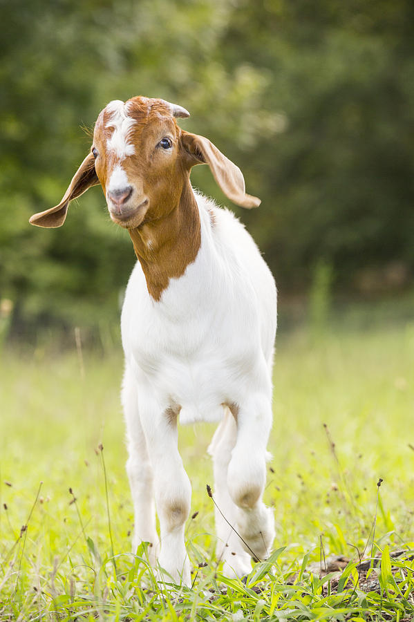 Goat Photograph - Dougie The Goat by Keith May