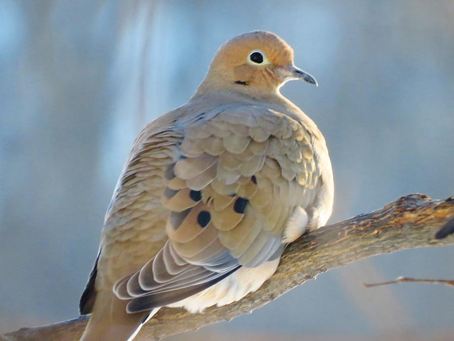 Mourning Dove Photograph - Dove In Evening Light by Lori Frisch