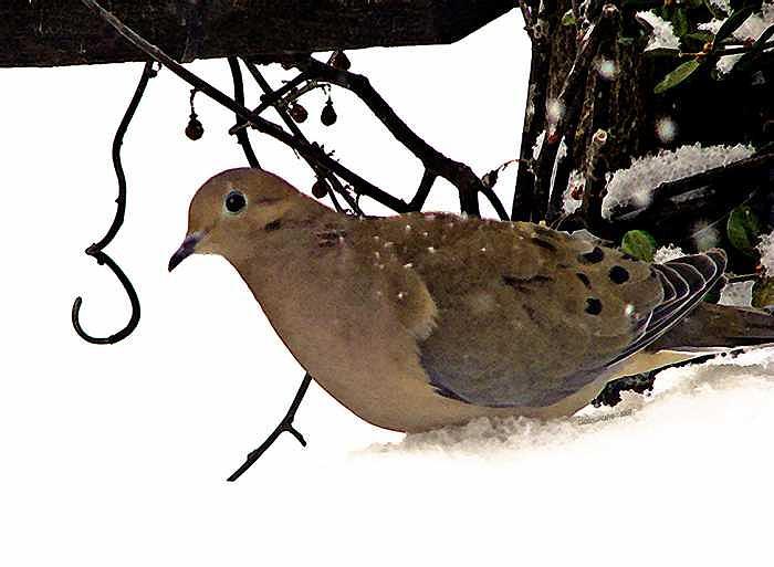 Dove Photograph - Dove by Linda Carroll