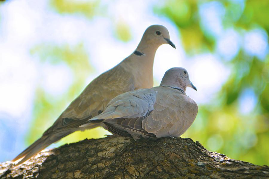 Birds Photograph - Dove Mates by Josephine Buschman