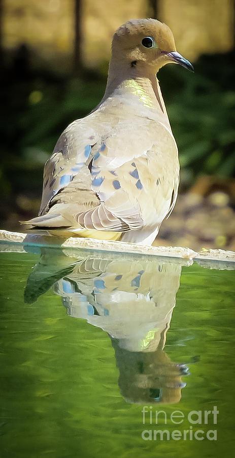Doves Reflection Photograph