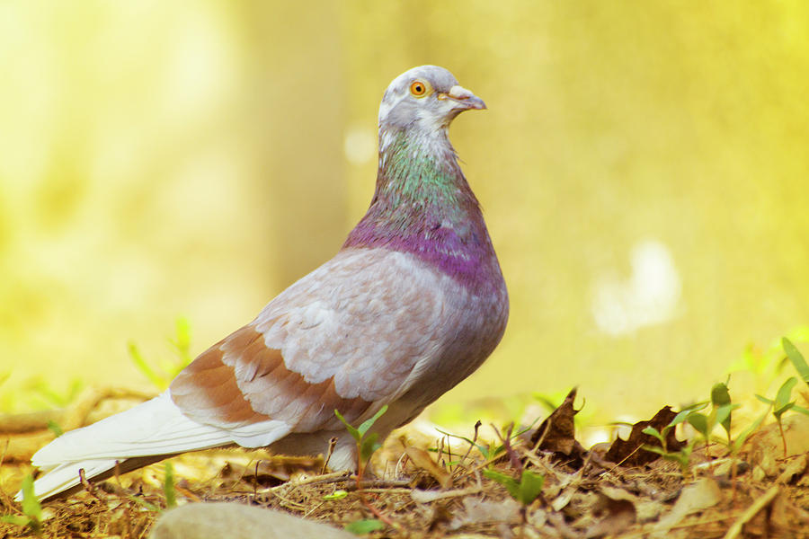 Dove Photograph - Dove  Standing Close Up by Vlad Baciu