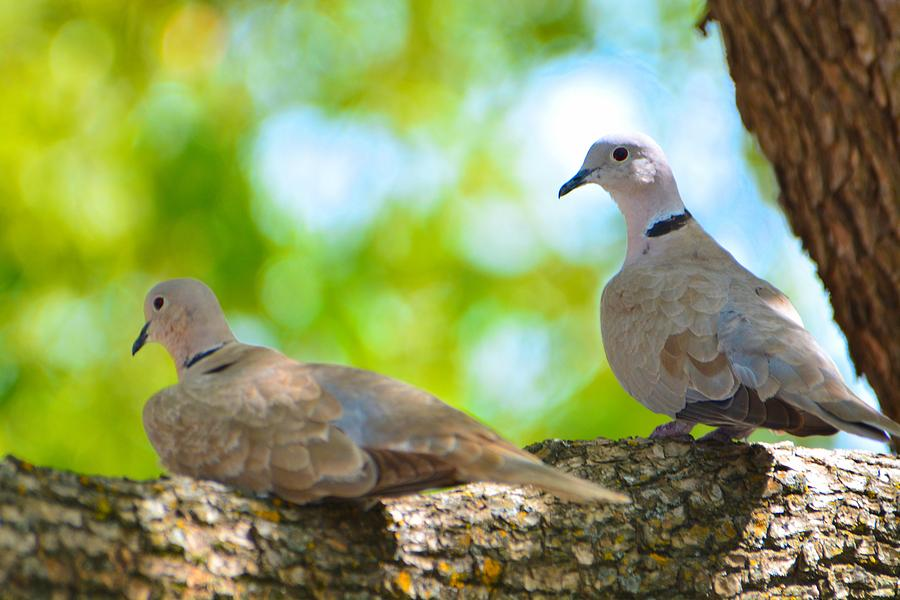 Doves Photograph - Doves In A Tree by Josephine Buschman