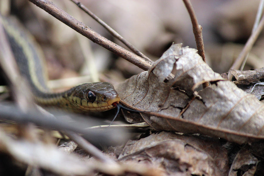 Snake Photograph - Down Below Tasting The Air Close Up by Jake Danishevsky